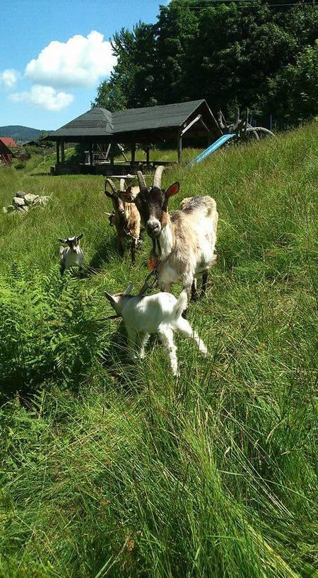 Agroturystyka U Gazdy - kozy (kliknięcie spowoduje powiększenie obrazu)