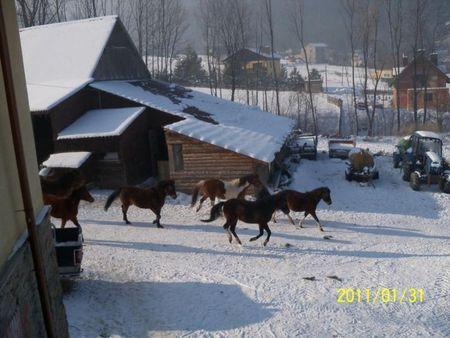 Agroturystyka Śniegociny - konie (kliknięcie spowoduje powiększenie obrazu)