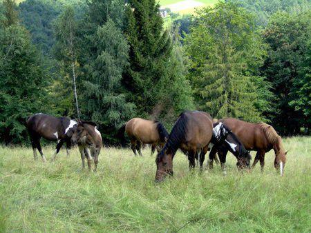 Agroturystyka U Gazdy - konie (kliknięcie spowoduje powiększenie obrazu)