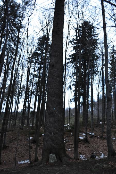 Pomnik przyrody - jodła pospolita (kliknięcie spowoduje powiększenie obrazu)
