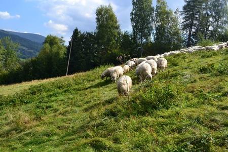 Owce na stoku Starego Gronia (kliknięcie spowoduje powiększenie obrazu)