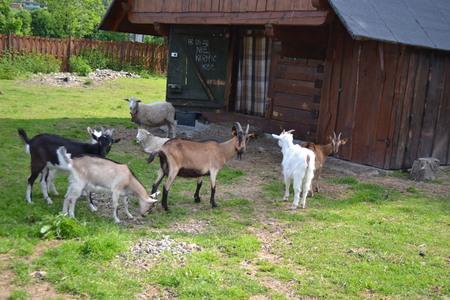 Kozia Zagroda - kozy (kliknięcie spowoduje powiększenie obrazu)