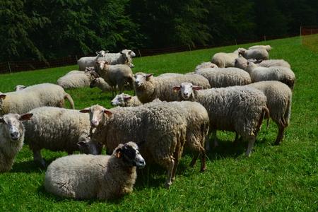 U Gazdy - owce (kliknięcie spowoduje powiększenie obrazu)